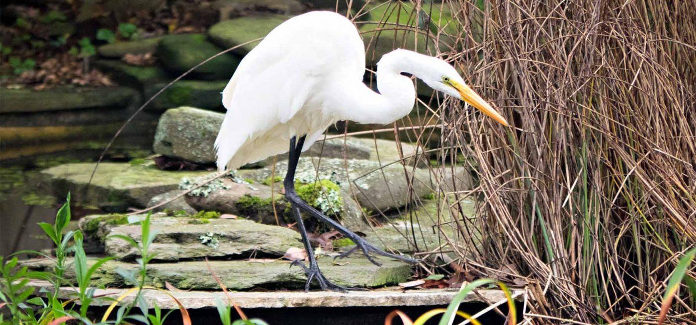 Egret in Garden Pond