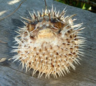 Pufferfish From Baja California Sur
