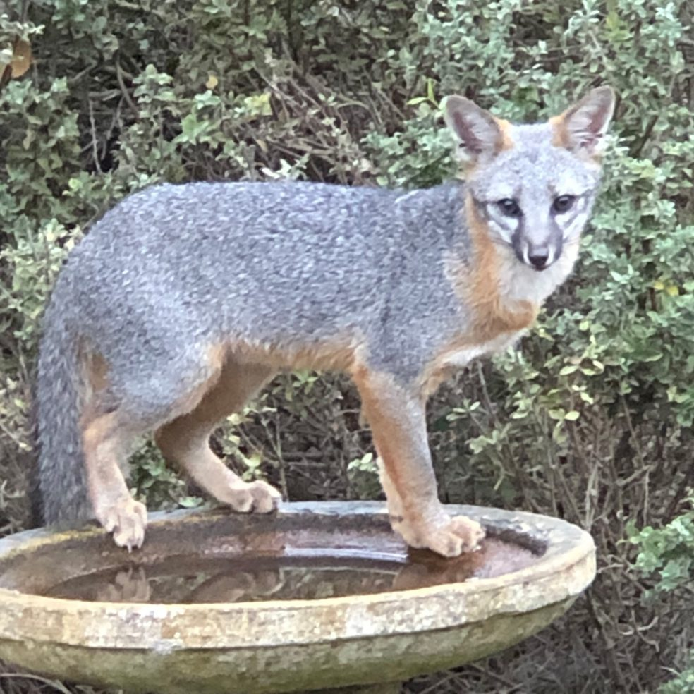 Grey Fox in Birdbath Yesterday Morning