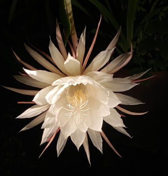 Epiphyllum Oxipetalum, Brahma Kamalam night-blooming flower